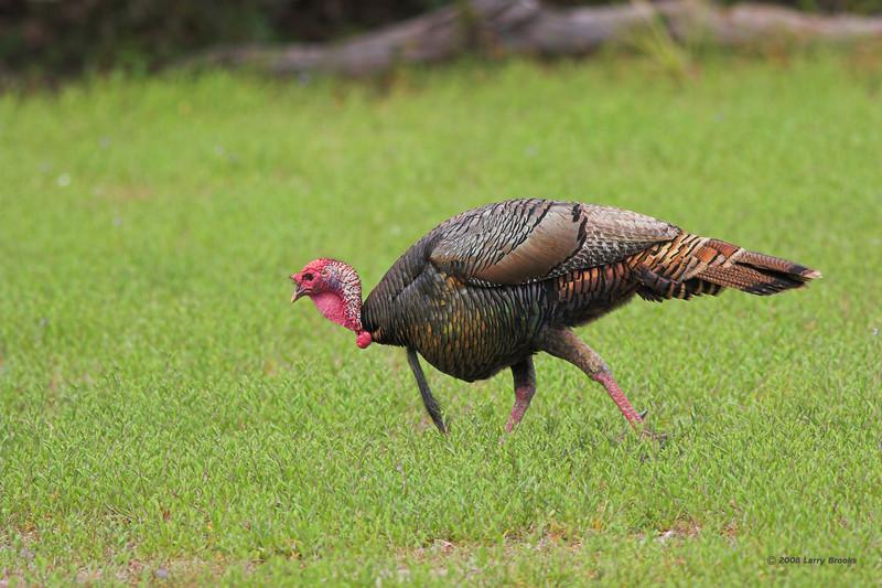 Wild Turkey on a cautious stroll at Cumberland Island NS