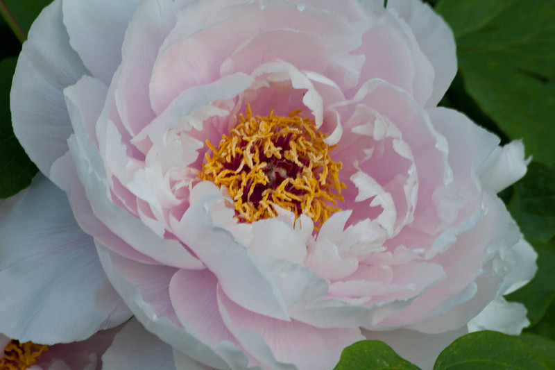 Pink Crinkle Peony