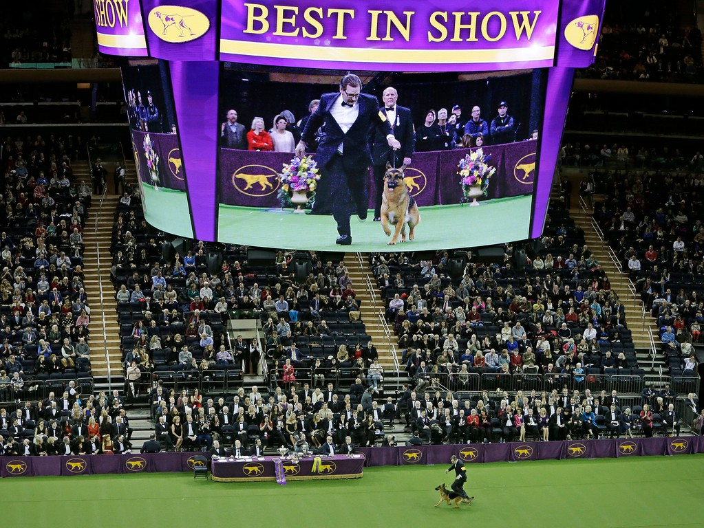 . Fans watch Rumor, a German shepherd who later won won Best In Show, compete at the 141st Westminster Kennel Club Dog Show Tuesday,  Feb. 14, 2017, in New York. (AP Photo/Frank Franklin II)