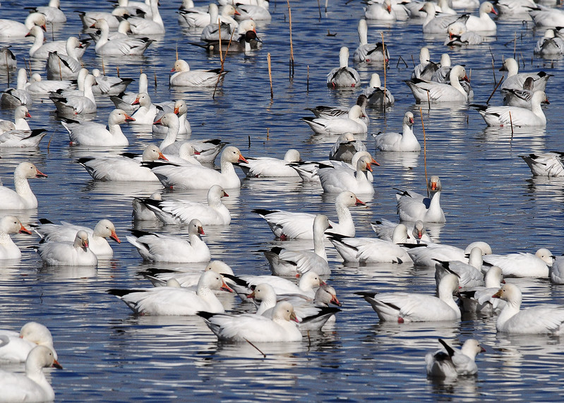NEA_1116-7x5-Snow Geese.jpg