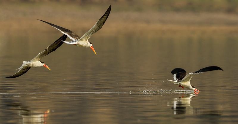 Indian-Skimmers-skimming-chambal-river.jpg