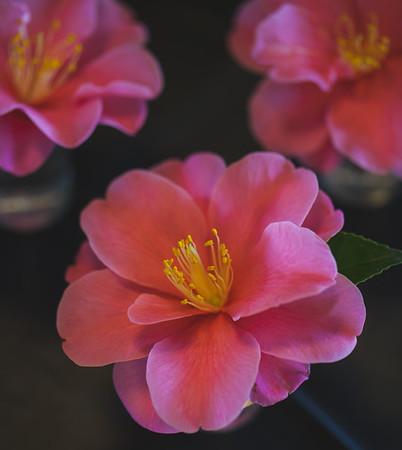 Mid-Carolina Camellia Society Show