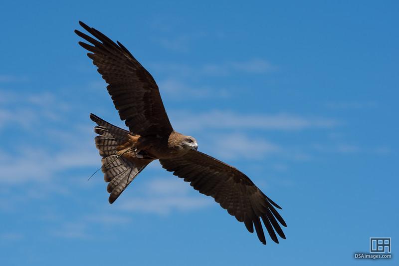 Member of the Taronga Zoo free flight bird show
