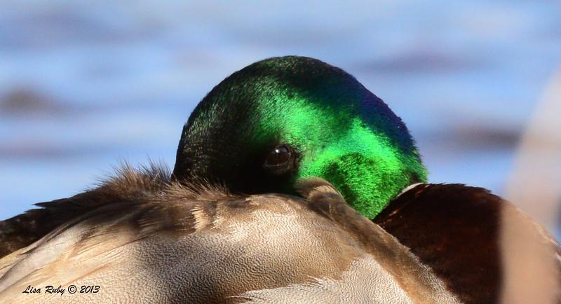 Mallard napping - 12/21/13 - Lake Murray