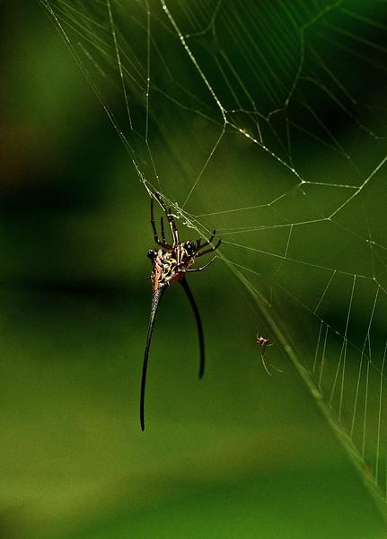 Thorn Spider (Gasteracantha arcuata)