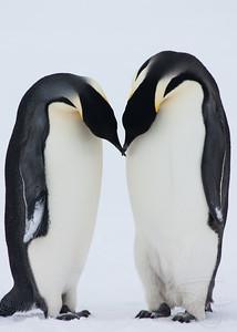Mating ritual. Snow Hill Island, Antarctica