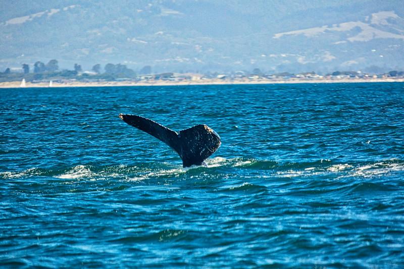 Whale watching off Monterey Coast2017-09-20 (7).jpg