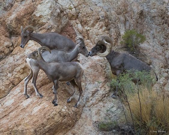 Arizona Large Animals