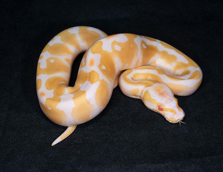 #2070, Female Albino 100% Het Pied, $300