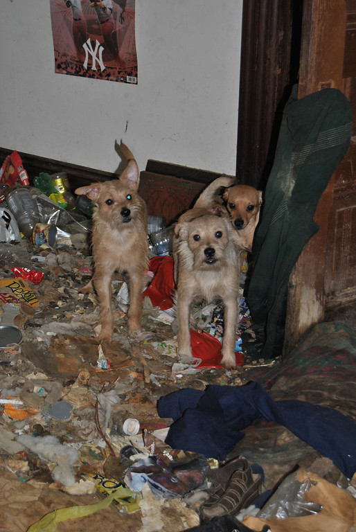 . Three of the rescued dogs inside the small bedroom where they were kept. (SPCA for Monterey County)