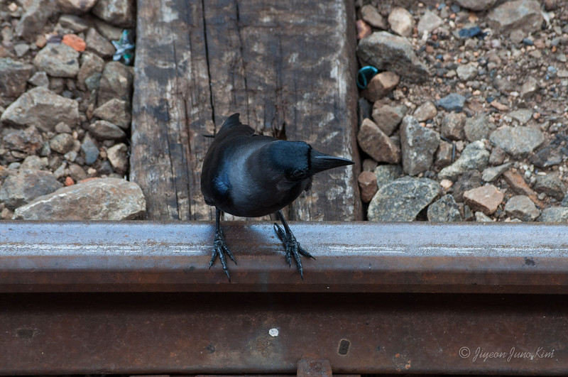 Sri-Lanka-Dambulla-Train-crow.jpg
