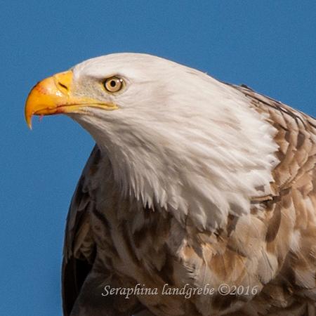 _DSC0170Leucistic Bald Eagle.jpg
