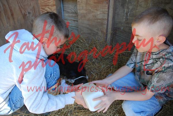 Cows 041508