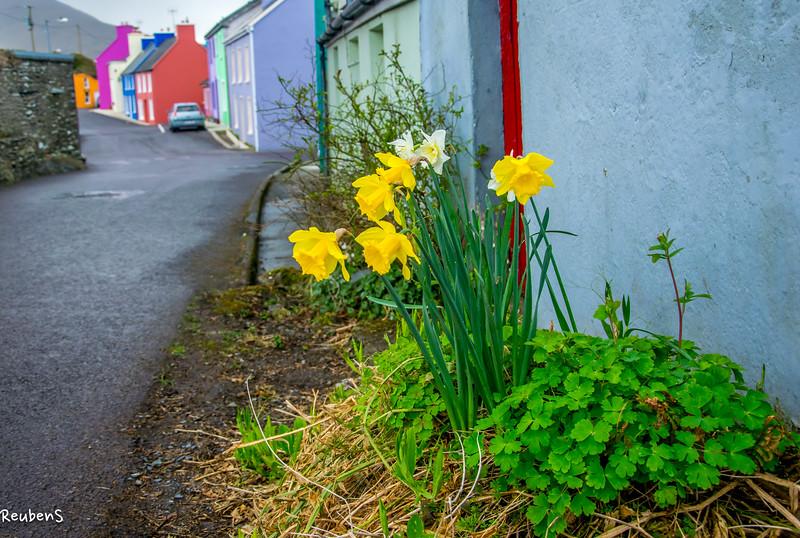 Daffodils,Eyeries, Ireland.jpg