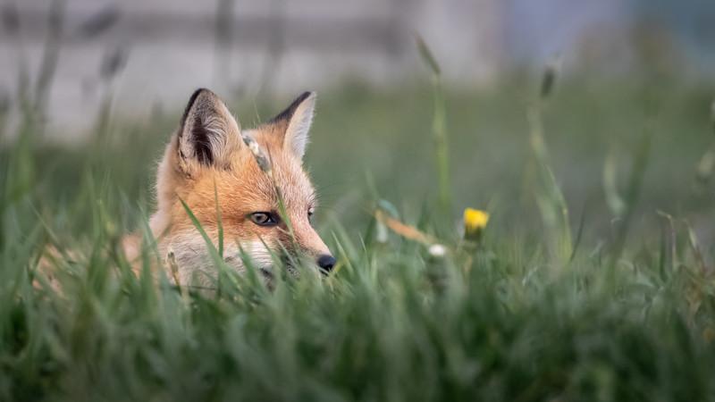 fox in the grass -2179.jpg