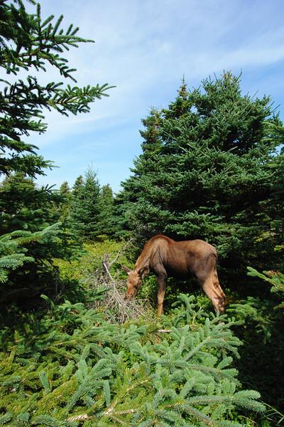 """Jeune orignal sur le sentier """"Skyline"""" - Parc national des Hautes-Terres du Cap Breton"""