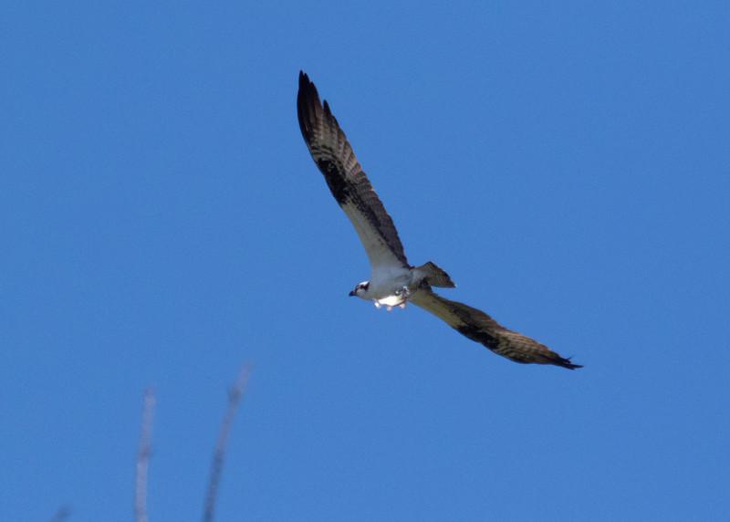 Osprey Scouting Fish