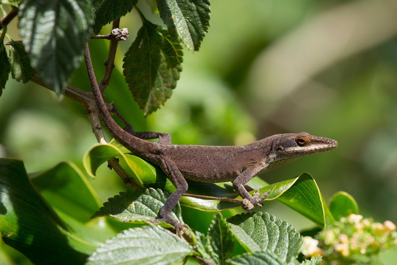 Brown (for the moment) Anole in the lantana bush