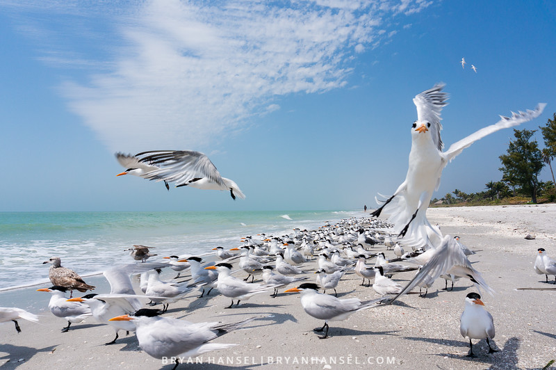 Royal Terns Away