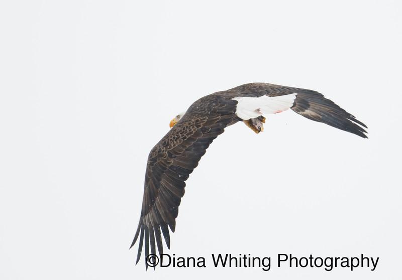 Bald Eagle 27.jpg