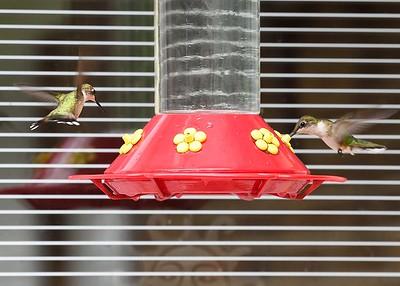 Hummingbirds, July 30, 2018