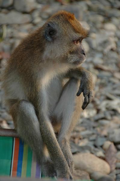 Reflecting Monkey - Khao Sok, Thailand