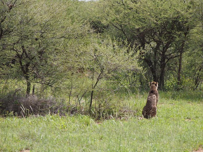 P3271019-cheetah-from-behind.JPG