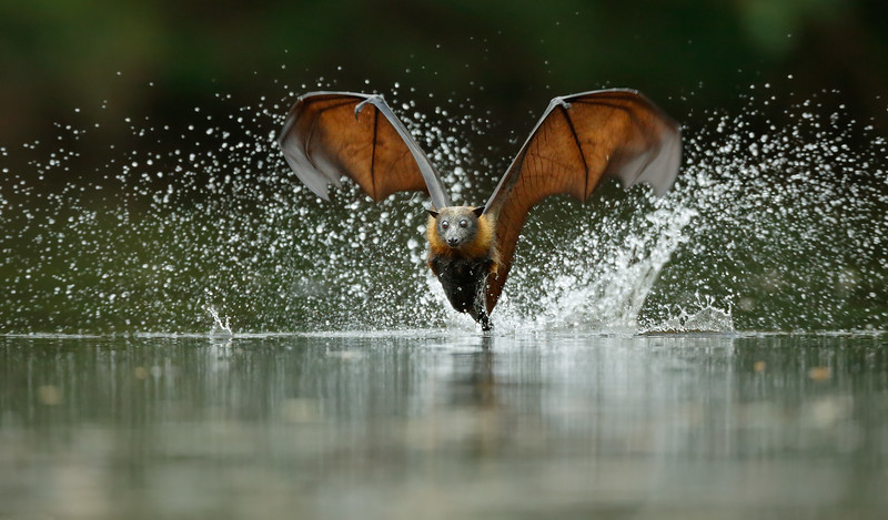 Grey-headed Flying Fox 4.jpg