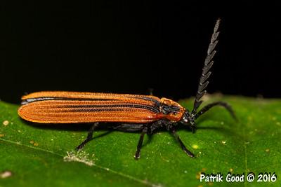 Orange-black-necked Lycid Beetle