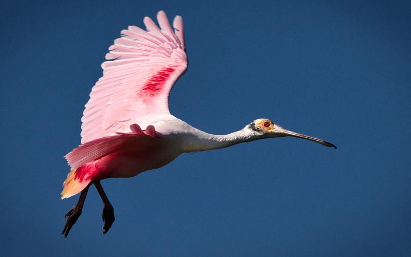 Fellsmere, Florida, Roseate Spoonbill, TM Goodwin Waterfowl Mgmt Area