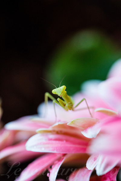 Praying_Mantis_0.jpg