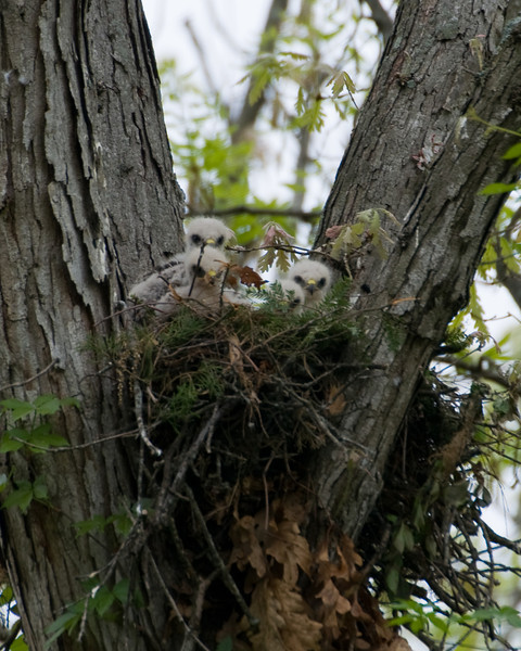 2009 Red Shouldered Hawk Nest - All 4