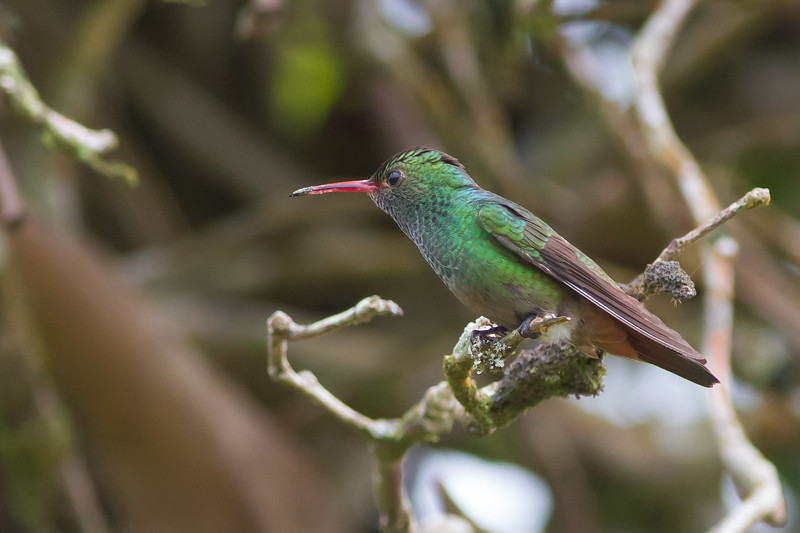 Rufous-tailed Hummingbird - Male - Arenal, Costa Rica