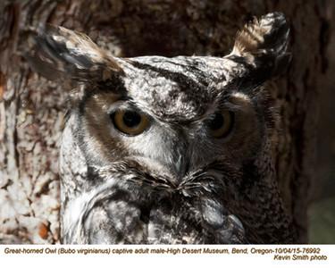Great Horned Owl M76992c.jpg