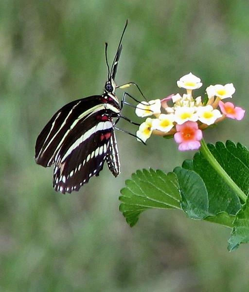 Zebra Winged Butterfly (30127548).jpg