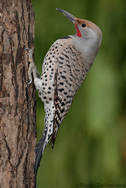 Northern Red Shafted Flicker coming for some food.