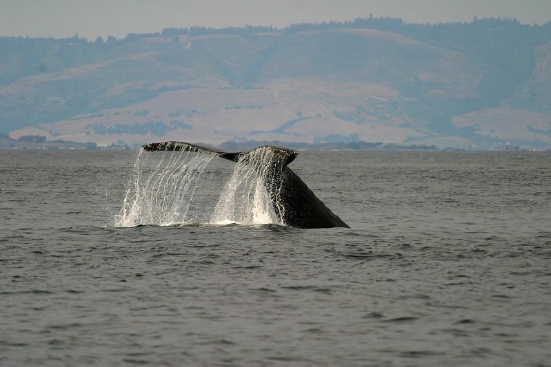 Humpback Whale Monterey CA 256_5696 FINAL.jpg