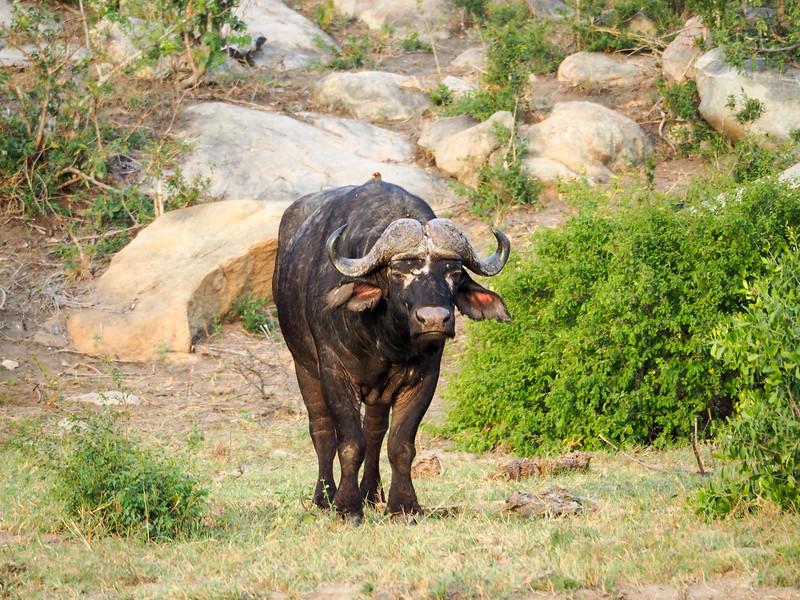 Cape buffalo in Kruger National Park