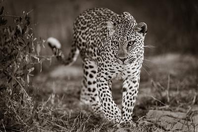 Leopard Hills 2019