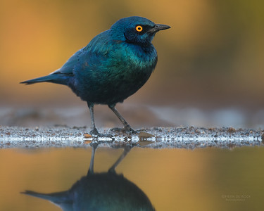 Cape Starling (Lamprotornis nitens)