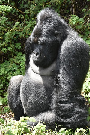uganda gorillas september 26 2018