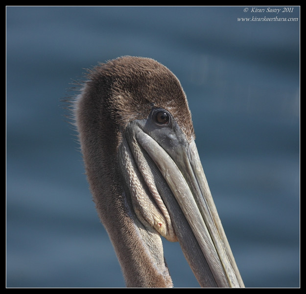 Juvenile Brown Pelican portrait, Mission Bay, Whale watching trip, San Diego County, California, July 2011