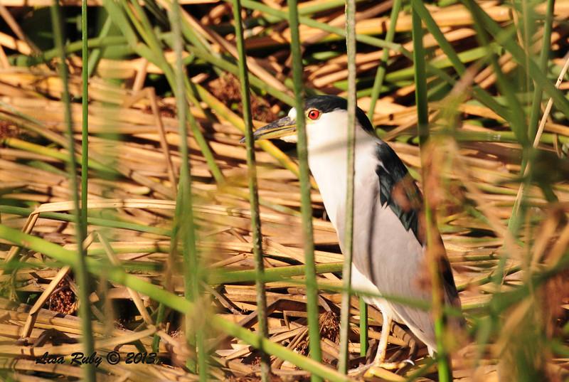Black-crowned Night Heron - 9/22/13 - Lindo Lake