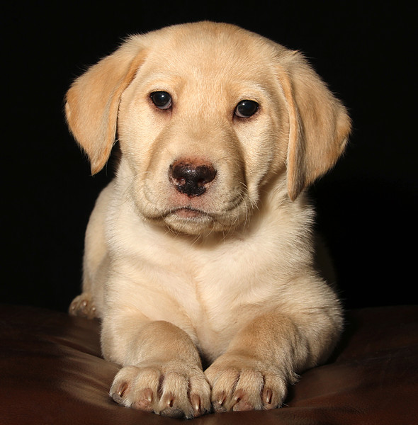 8 Week Old Labrador.jpg