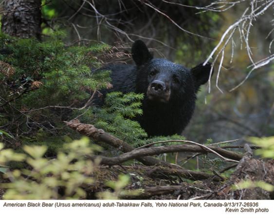 American Black Bear A26936.jpg