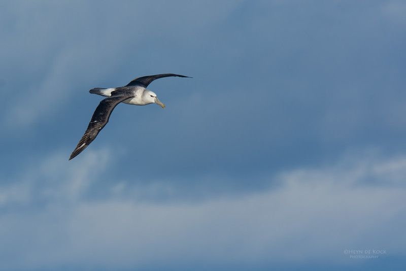Shy Albatross, imm, Eaglehawk Neck Pelagic, TAS, May 2016-3.jpg