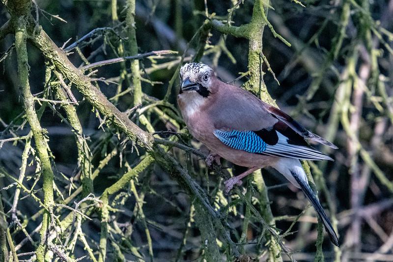 A Jay at Pulborough Brooks-39.jpg