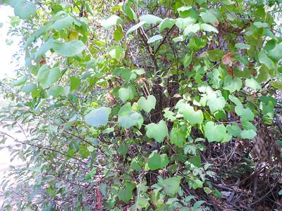 Wild Grape (Vitis girdiana)