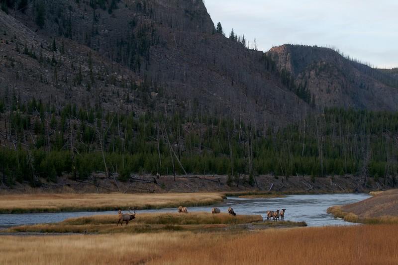 Elk crossing Madison River Yellowstone NP WY IMG_0001066.jpg