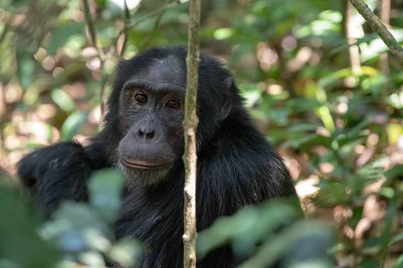Uganda_T_Chimps-421.jpg